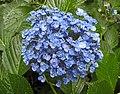 胖女人繡球花 Hydrangea macrophylla f concavosepala -日本廣島縮景園 Hiroshima Shukkeien Garden, Japan- (35792778455).jpg