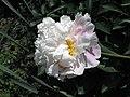 芍藥-冰青 Paeonia lactiflora 'Icy Green' -上海植物園 Shanghai Botanical Garden- (12380137285).jpg