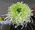 菊花-金龍鬚 Chrysanthemum morifolium 'Golden Dragon Beard' -香港圓玄學院 Hong Kong Yuen Yuen Institute- (12099275423).jpg