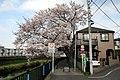 調布市・野川の桜 2010.04.04 8-03 - panoramio.jpg