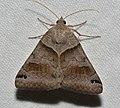 - 8738 – Caenurgina crassiuscula – Clover Looper Moth (44691855172).jpg