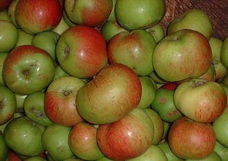 Bramley apple - Bramley's Seedling apples, British Columbia, Canada