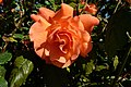 03-Rose aus Serbien DSCF1485.jpg