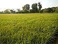 03910jfPaddy fields village Baliuag Bulacan Candaba Pampanga Bridge Roadfvf 04.JPG