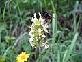 0917 - Obertraun-Dachstein - Bee on flowers.JPG