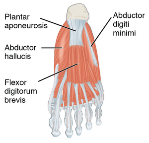 Abductor hallucis muscle - The abductor hallucis as seen from an inferior projection of the foot. This diagram shows the bottom-most layer of muscles, just under the plantar skin of the foot.