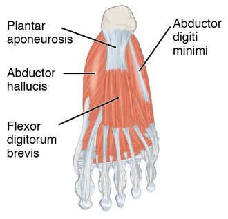 Plantar fascia - Muscles of the sole of the foot. First layer (closest to the skin on the sole of the foot). Plantar aponeurosis visible at top center.