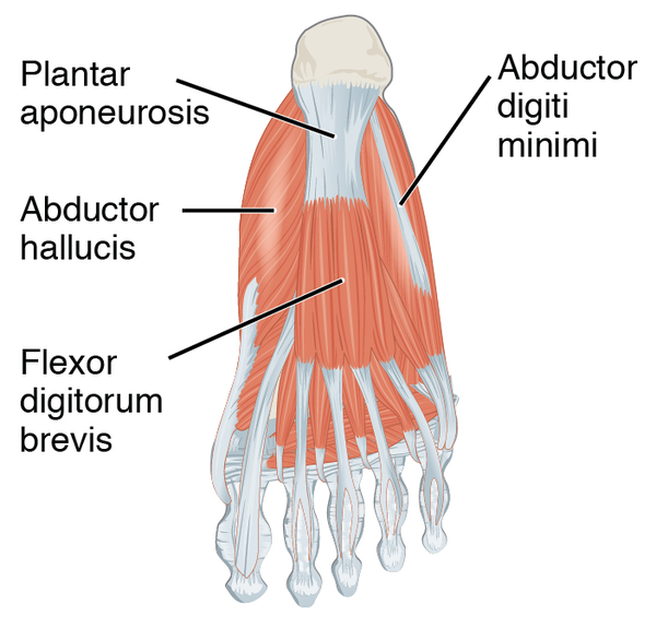 Abductor Hallucis Muscle Wikiwand