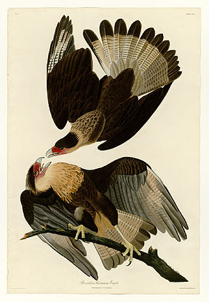 Northern crested caracara - Northern caracaras fighting. Painted by John James Audubon.