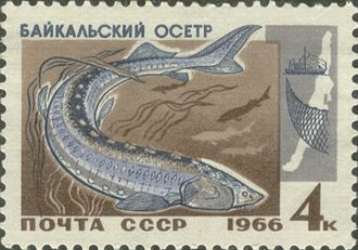 Baikal sturgeon - Baikal sturgeon. Stamp of the Soviet Union. 1966
