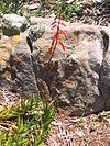 1 flowering Aloe decumbens - Sandstone slope - South Africa.jpg