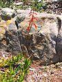 1 flowering Aloe decumbens - Sandstone slope - South Africa.jpg