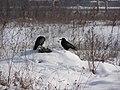 2005-2010. Птицы Донецка (C-740) 183.jpg