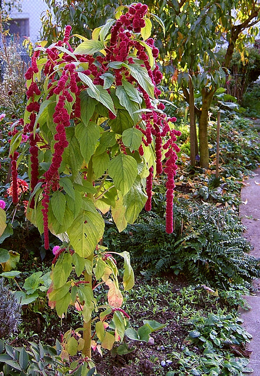 https://upload.wikimedia.org/wikipedia/commons/thumb/3/35/2006-10-22Amaranthus09.jpg/530px-2006-10-22Amaranthus09.jpg