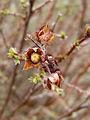 2007-04-07Potentilla fruticosa06.jpg