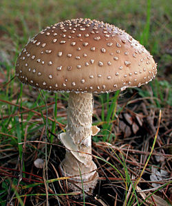 2008-10 Amanita pantherina cropped.jpg