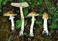 2009-07-01 Amanita flavipes group 119748.jpg