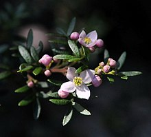 20110903 Boronia imlayensis 1.jpg