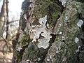 2012-01-27 Aleurodiscus disciformis (DC-Fr.)Pat 197040.jpg