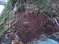 2012-12-12 Helicobasidium purpureum (Tul.) Pat 332121.jpg