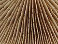 2012-12-31 Hebeloma crustuliniforme (Bull.) Quél 298844.jpg