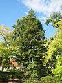 20130910Metasequoia glyptostroboides1.jpg