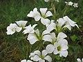20140503Saxifraga granulata2.jpg