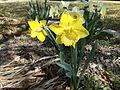 2015-03-31 10 25 40 Yellow daffodils along Idaho Street (Interstate 80 Business) in Elko, Nevada.JPG