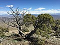 2015-04-26 13 56 00 Old Utah Juniper on the summit of Grindstone Mountain, Nevada.jpg