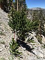 2015-07-13 13 50 03 A Great Basin Bristlecone Pine sapling along the North Loop Trail about 8.2 miles west of the trailhead in the Mount Charleston Wilderness, Nevada.jpg