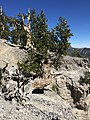 2015-07-13 15 12 24 A Great Basin Bristlecone Pine along the North Loop Trail about 7.1 miles west of the trailhead in the Mount Charleston Wilderness, Nevada.jpg