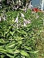 2015-07-20 12 31 46 Hosta flowers along Terrace Boulevard in Ewing, New Jersey.jpg