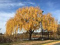 2015-12-08 12 28 19 Weeping Willow with autumn foliage along Woodland Park Road in McNair, Fairfax County, Virginia.jpg