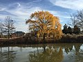 2015-12-08 12 32 09 Weeping Willow with autumn foliage next to a pond along Woodland Park Road in McNair, Fairfax County, Virginia.jpg