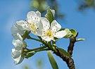 2015 Kwiatostan gruszy pospolitej.jpg