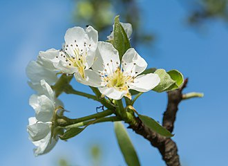 Pyrus communis - Pear tree in flower