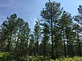 2016-05-27 11 10 15 Pine forest along Tye River Road (Virginia State Secondary Route 657) just southeast of Greenfield Drive (Virginia State Secondary Route 721) near Piedmont in Nelson County, Virginia.jpg
