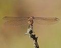 2016.09.09.-10-Anglersee Bruehl--Grosse Heidelibelle-Weibchen.jpg