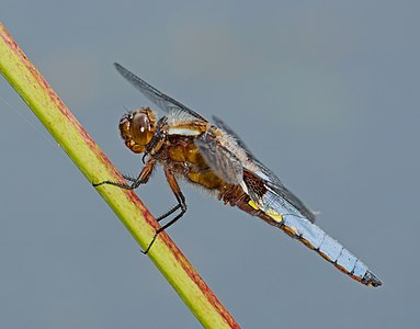 Broad-bodied chaser - Libellula depressa, male