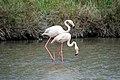 20170425 132 Camargue Flamingo (34333528041).jpg