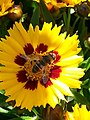20170806 124115 hoverfly on yellow flower.jpg