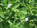 2018-05-13 (174) Geranium pyrenaicum (hedgerow cranesbill) at Bichlhäusl in Frankenfels, Austria.jpg