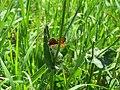 2018-05-13 (180) Female Lycaena tityrus (Sooty Copper) at Bichlhäusl in Frankenfels, Austria.jpg