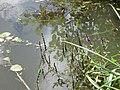 20200701Stachys palustris1.jpg