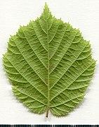 2020 year. Herbarium. Corylus avellana. img-002.jpg