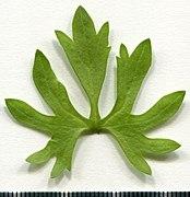 2020 year. Herbarium. Ranunculus acris. img-013.jpg