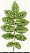 2020 year. Herbarium. Sorbus aucuparia. img-014.jpg