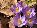 2021-03-03 14 57 07 A honey bee pollinating Crocus tommasinianus flowers along Tranquility Court in the Franklin Farm section of Oak Hill, Fairfax County, Virginia.jpg