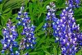 2nd Sun Peaks flower hike of the year...Arctic Lupins (Lupinus arcticus)... (27962131073).jpg