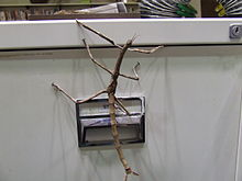 2nd last instar of Titan stick insect.JPG